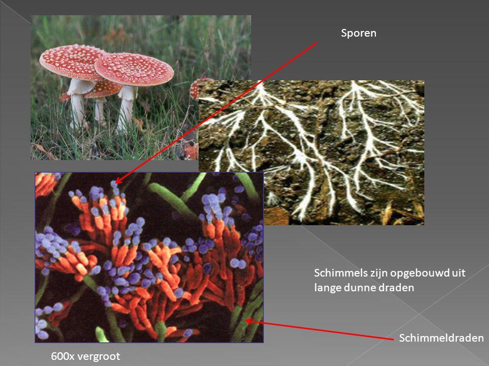 Sporen Schimmels zijn opgebouwd uit lange dunne draden Schimmeldraden 600x vergroot