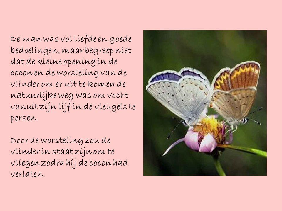 De man was vol liefde en goede bedoelingen, maar begreep niet dat de kleine opening in de cocon en de worsteling van de vlinder om er uit te komen de natuurlijke weg was om vocht vanuit zijn lijf in de vleugels te persen.