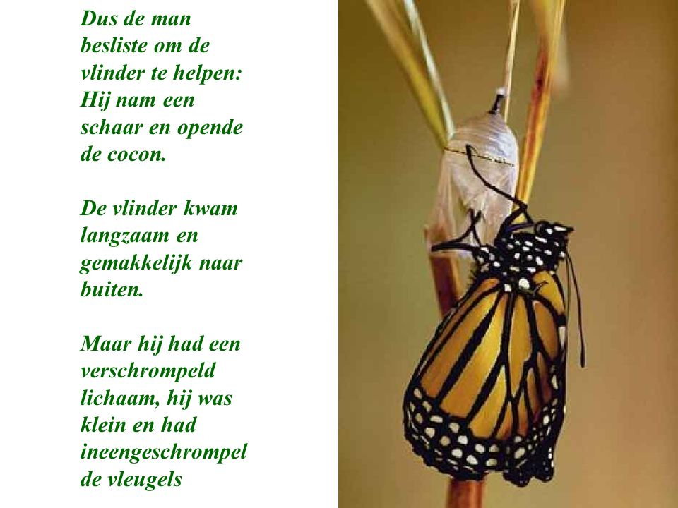 Dus de man besliste om de vlinder te helpen: Hij nam een schaar en opende de cocon.