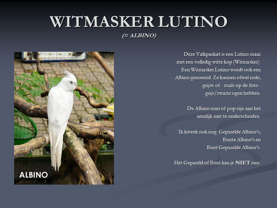 WITMASKER LUTINO (= ALBINO)