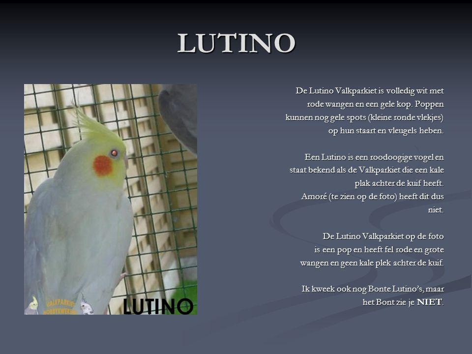 LUTINO De Lutino Valkparkiet is volledig wit met