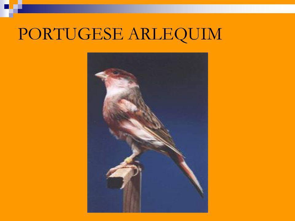 PORTUGESE ARLEQUIM