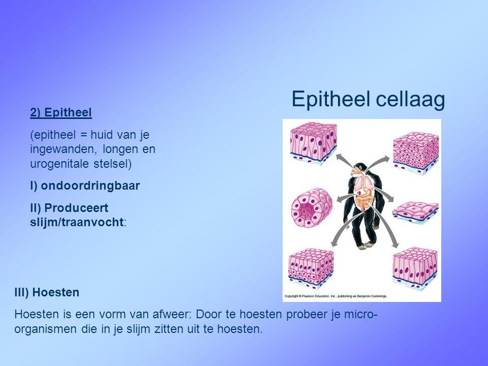 Epitheel cellaag 2) Epitheel