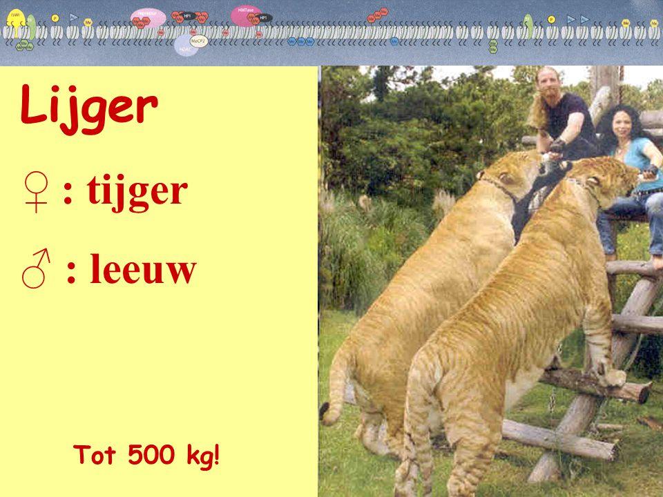 Lijger ♀ : tijger ♂ : leeuw Tot 500 kg!