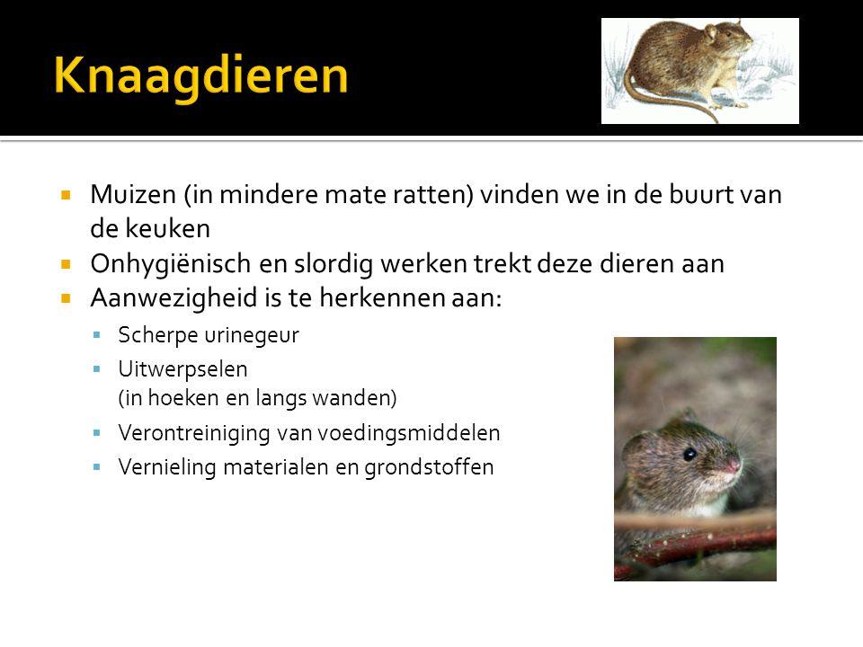 Knaagdieren Muizen (in mindere mate ratten) vinden we in de buurt van de keuken. Onhygiënisch en slordig werken trekt deze dieren aan.