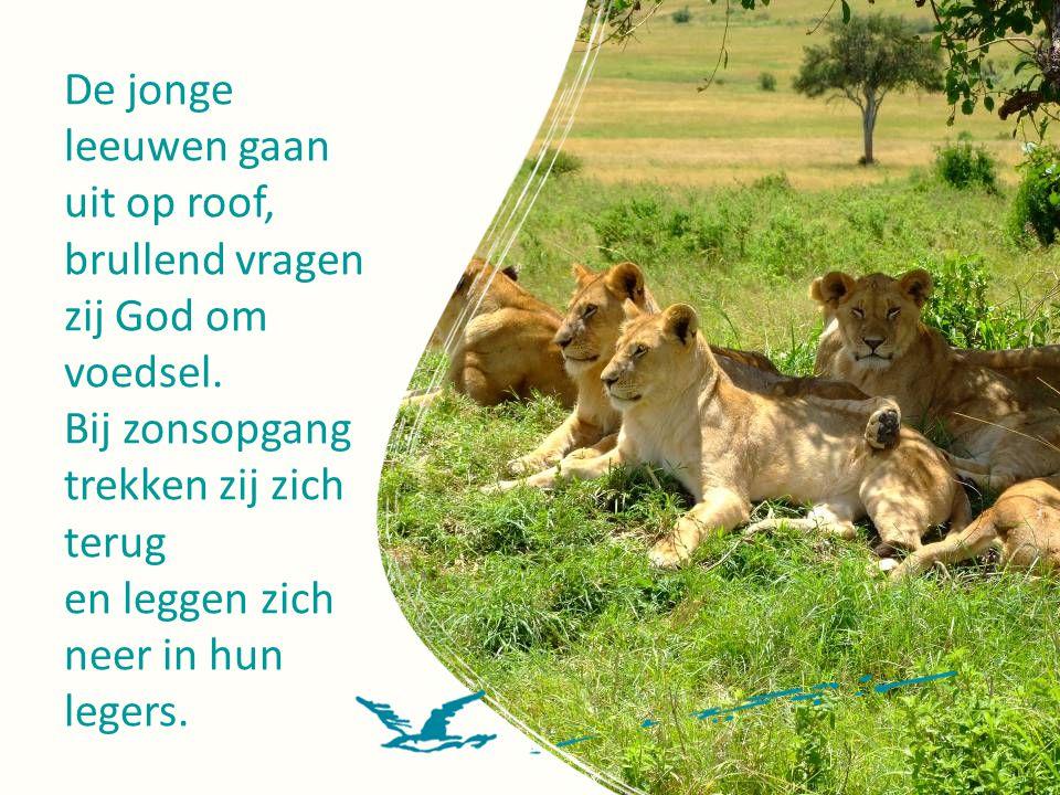 De jonge leeuwen gaan uit op roof,