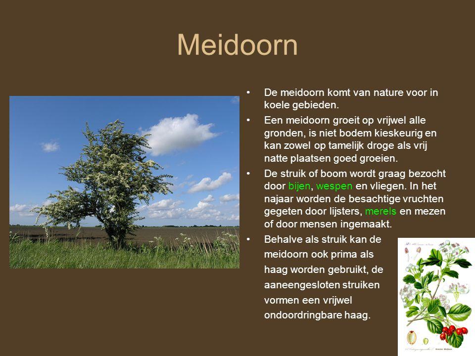 Meidoorn De meidoorn komt van nature voor in koele gebieden.