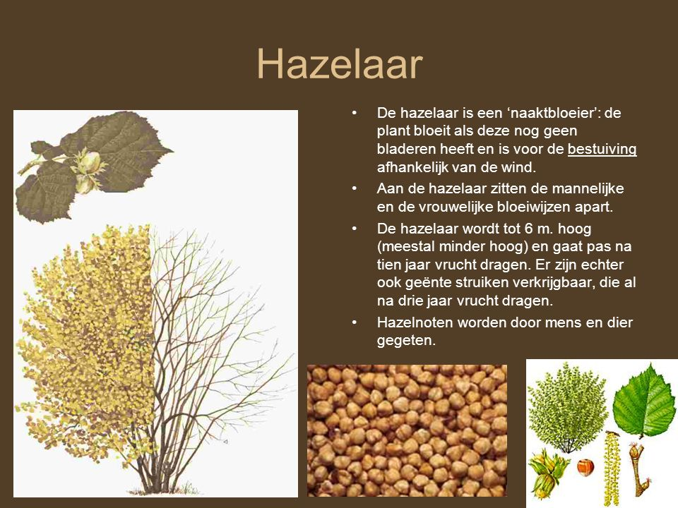 Hazelaar De hazelaar is een 'naaktbloeier': de plant bloeit als deze nog geen bladeren heeft en is voor de bestuiving afhankelijk van de wind.