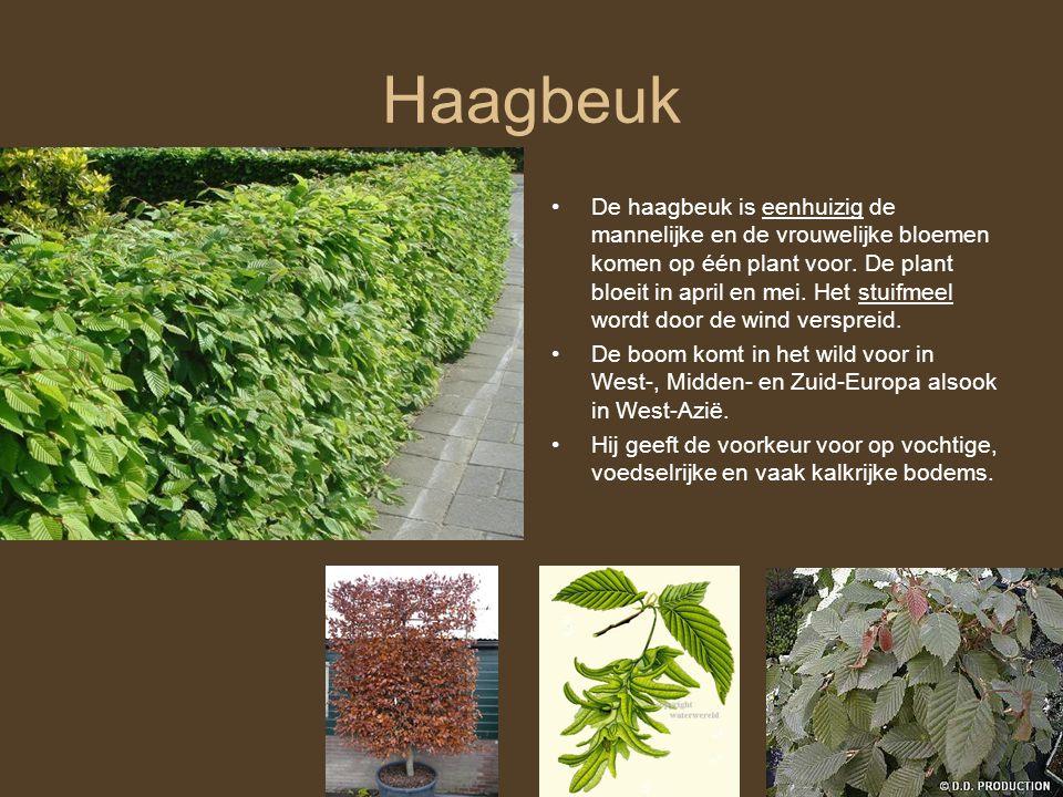 Haagbeuk