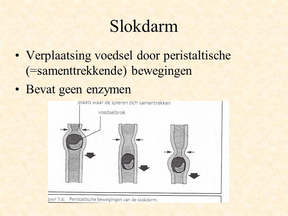 Slokdarm Verplaatsing voedsel door peristaltische (=samenttrekkende) bewegingen Bevat geen enzymen