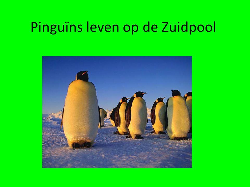 Pinguïns leven op de Zuidpool