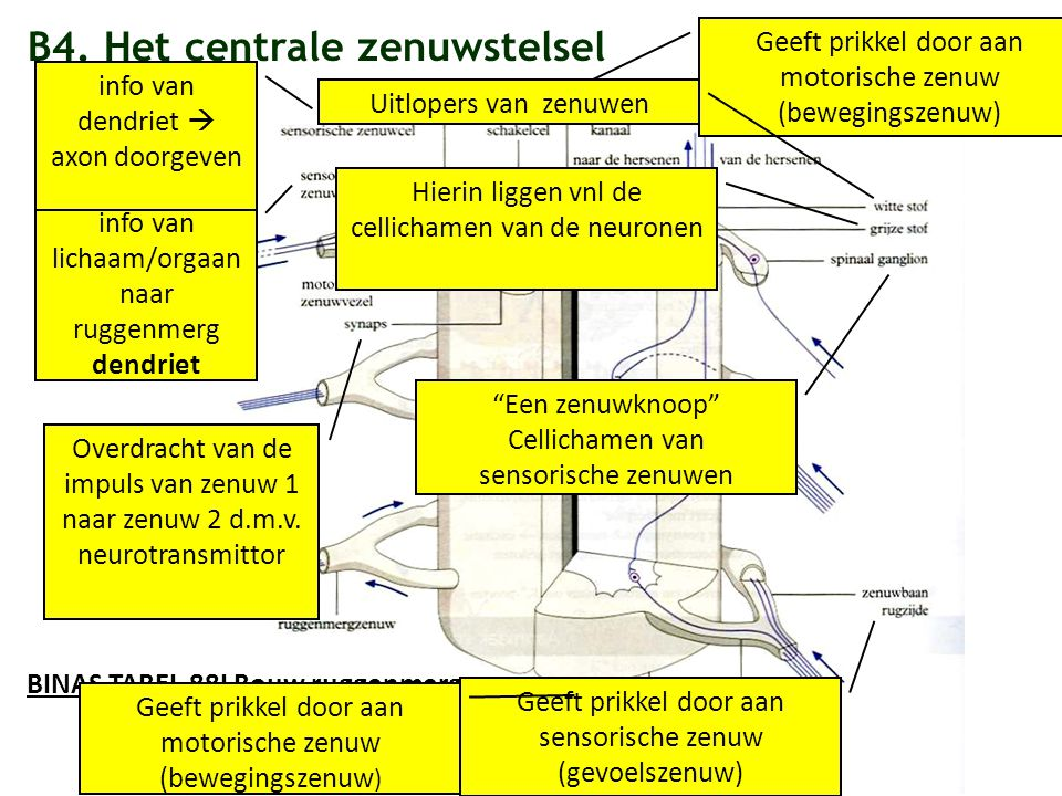 B4. Het centrale zenuwstelsel