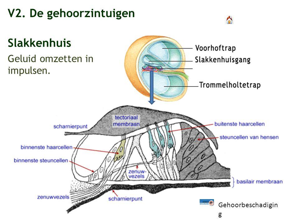 V2. De gehoorzintuigen Slakkenhuis Geluid omzetten in impulsen.