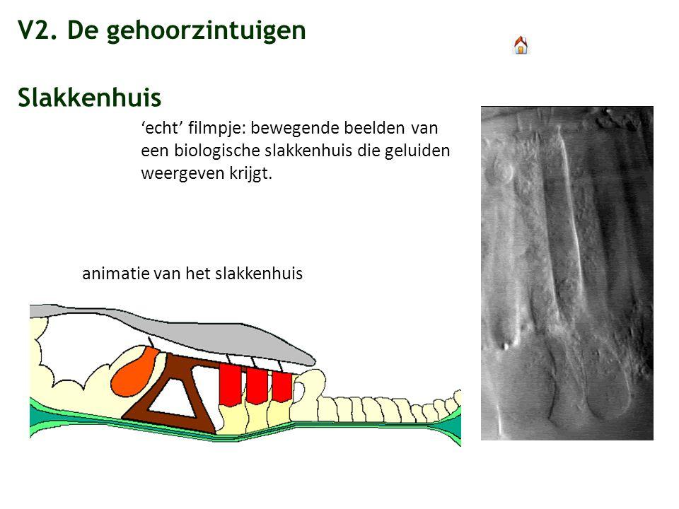 V2. De gehoorzintuigen Slakkenhuis