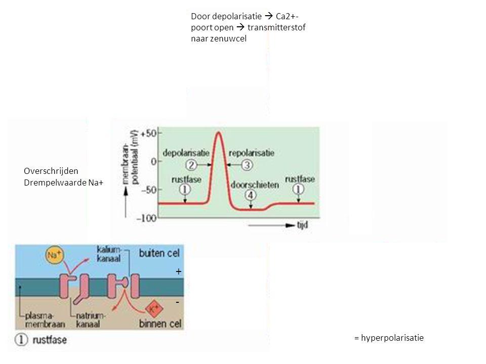 Door depolarisatie  Ca2+-poort open  transmitterstof naar zenuwcel