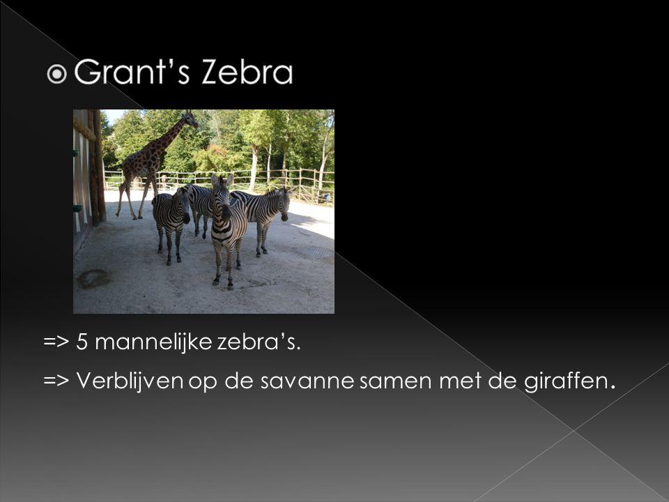 Grant's Zebra => 5 mannelijke zebra's. => Verblijven op de savanne samen met de giraffen.