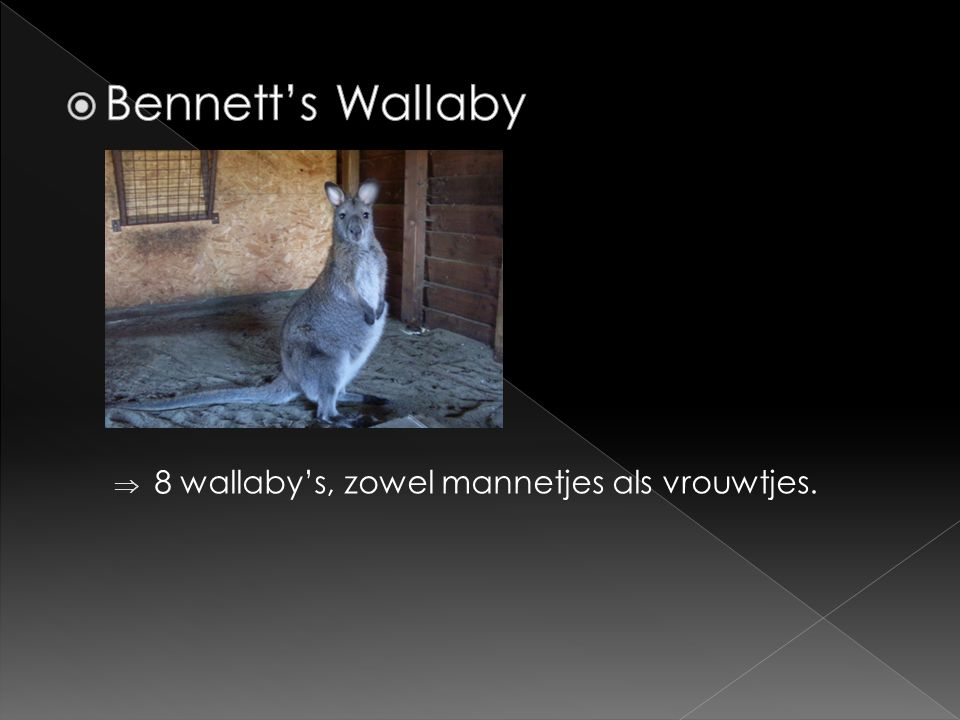 Bennett's Wallaby 8 wallaby's, zowel mannetjes als vrouwtjes.