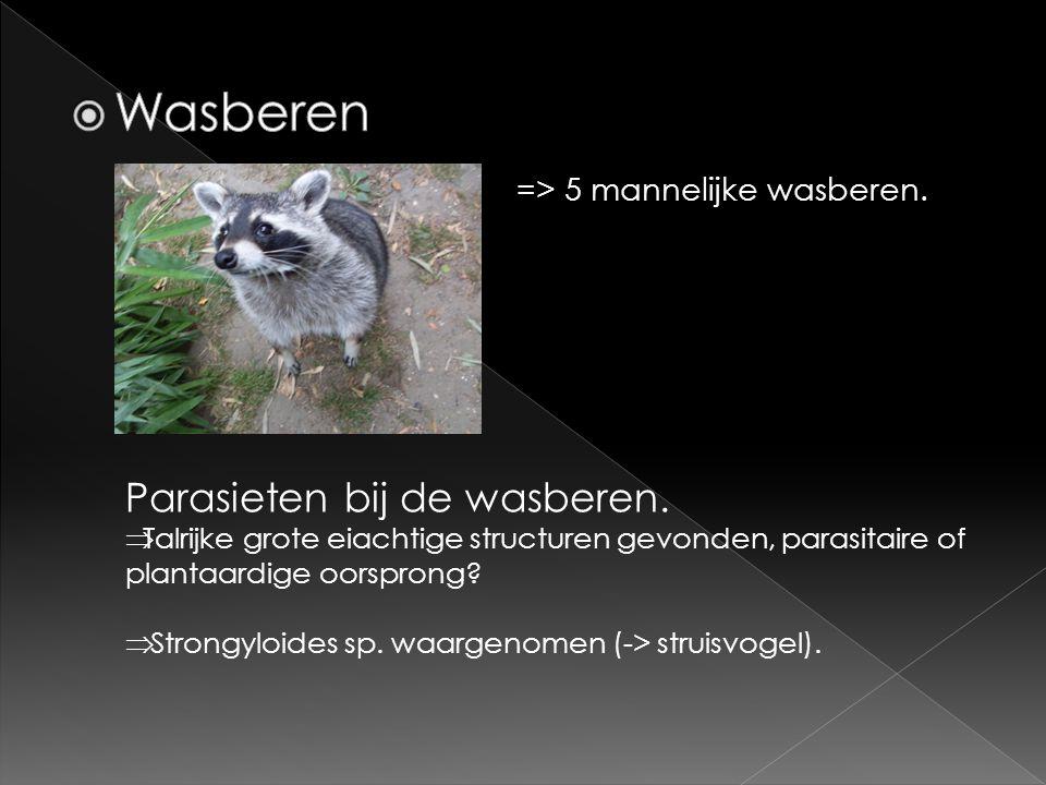 Wasberen Parasieten bij de wasberen. => 5 mannelijke wasberen.