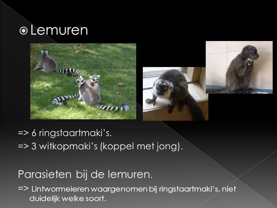 Lemuren Parasieten bij de lemuren. => 6 ringstaartmaki's.