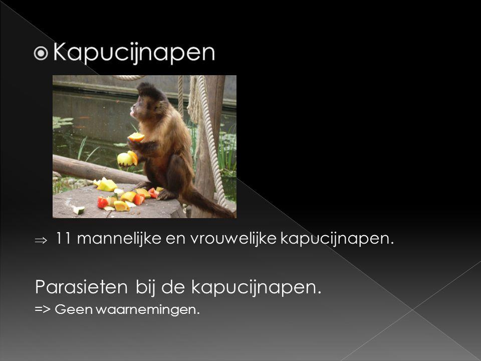 Kapucijnapen Parasieten bij de kapucijnapen.