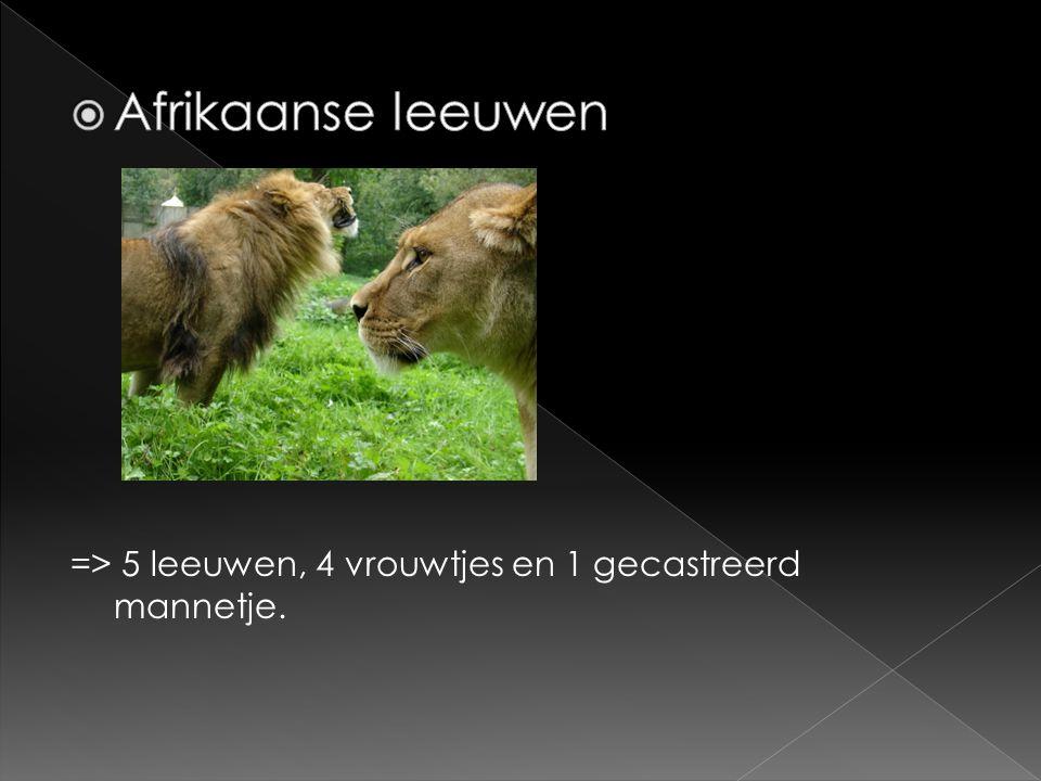 Afrikaanse leeuwen => 5 leeuwen, 4 vrouwtjes en 1 gecastreerd mannetje.