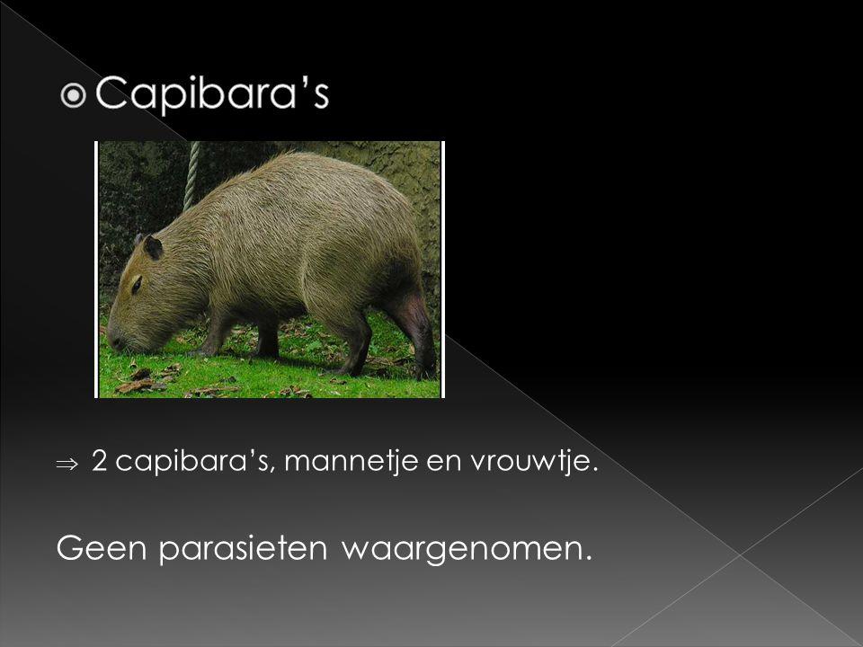 Capibara's Geen parasieten waargenomen.