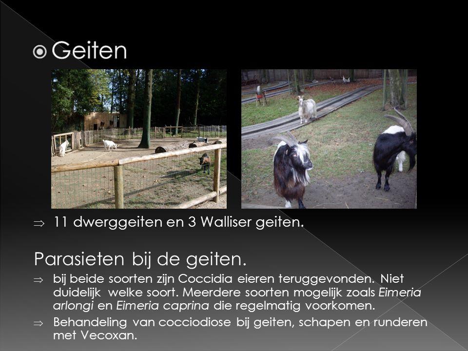Geiten Parasieten bij de geiten. 11 dwerggeiten en 3 Walliser geiten.