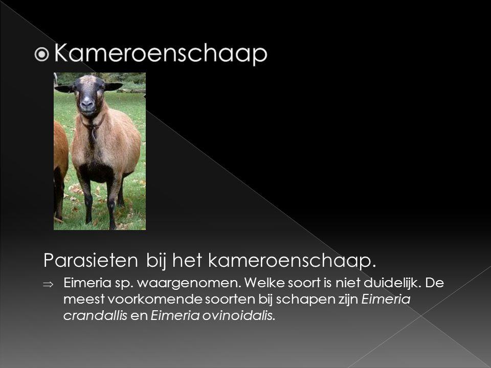 Kameroenschaap Parasieten bij het kameroenschaap.