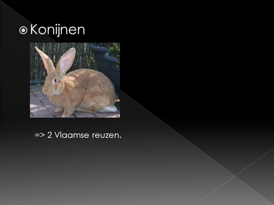 Konijnen => 2 Vlaamse reuzen.