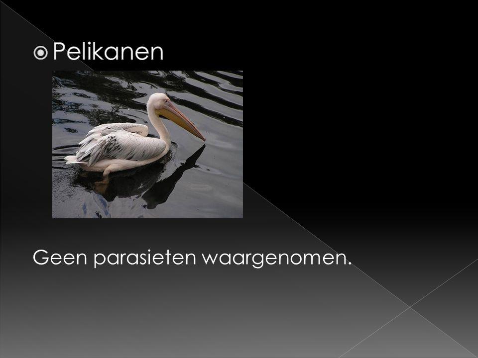 Pelikanen Geen parasieten waargenomen.