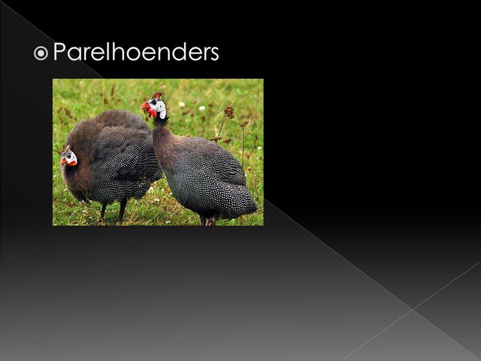 Parelhoenders