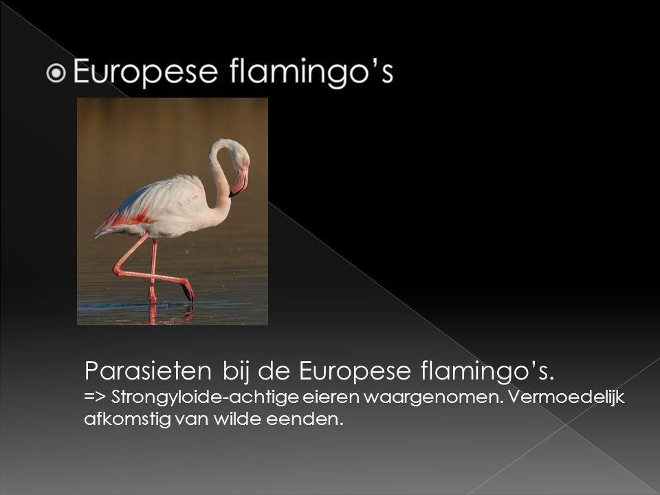 Europese flamingo's Parasieten bij de Europese flamingo's.