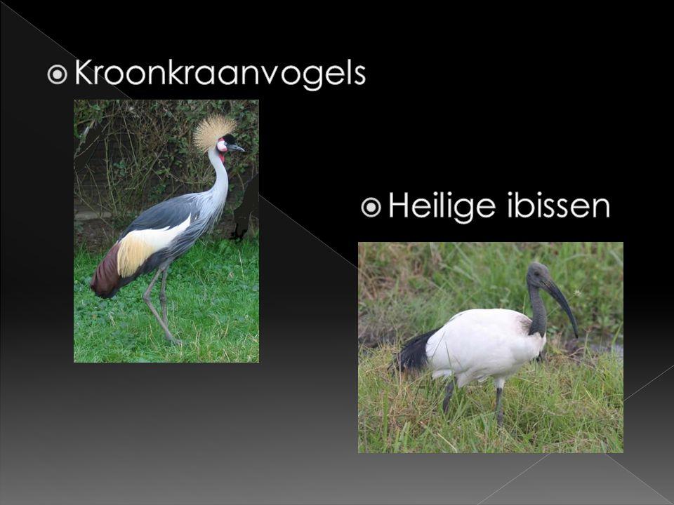 Kroonkraanvogels Heilige ibissen