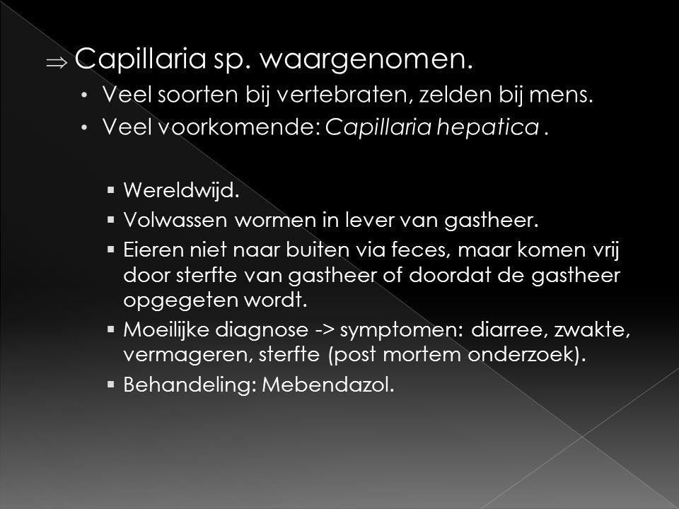 Capillaria sp. waargenomen.