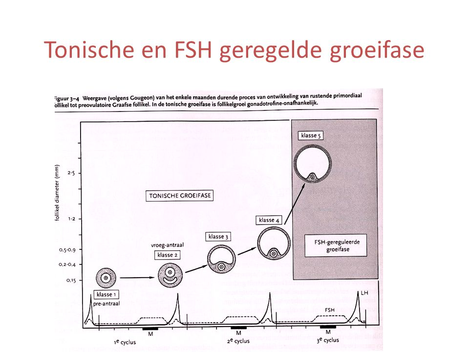 Tonische en FSH geregelde groeifase