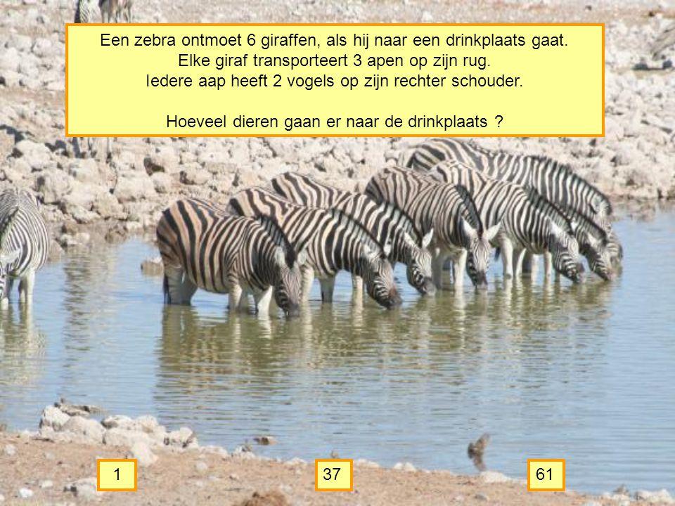 Een zebra ontmoet 6 giraffen, als hij naar een drinkplaats gaat.