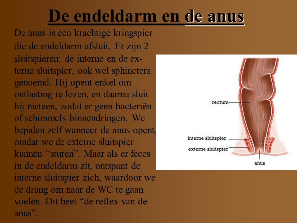 De endeldarm en de anus
