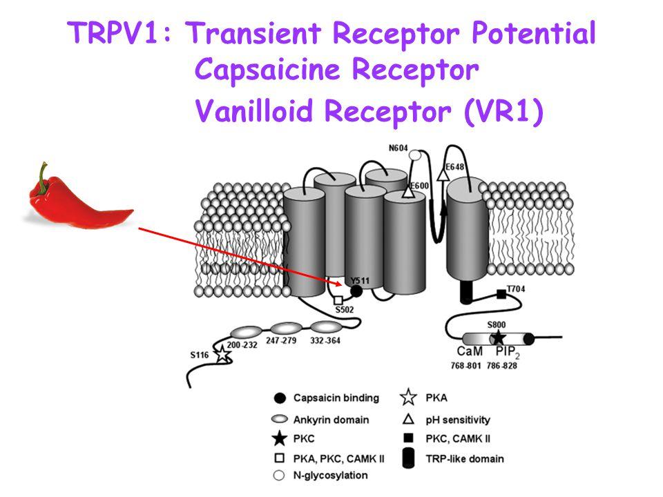 TRPV1: Transient Receptor Potential