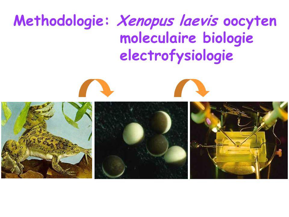 Methodologie: Xenopus laevis oocyten