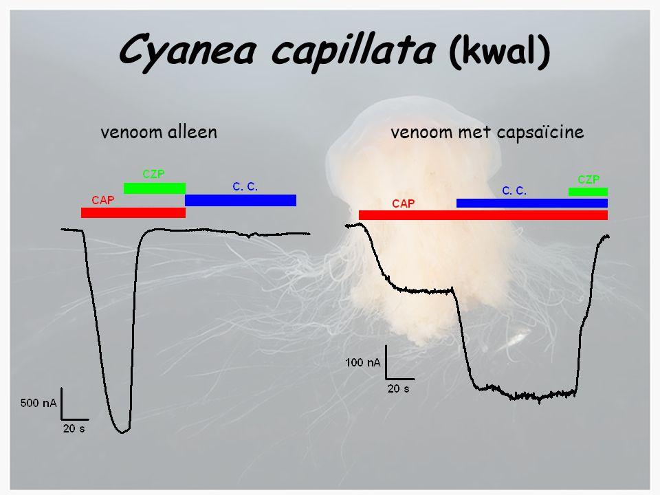 Cyanea capillata (kwal)