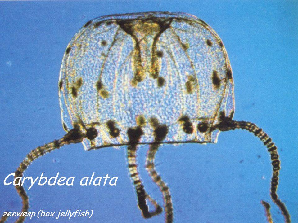 Carybdea alata zeewesp (box jellyfish)
