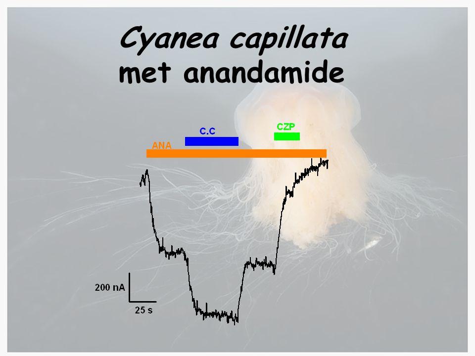 Cyanea capillata met anandamide