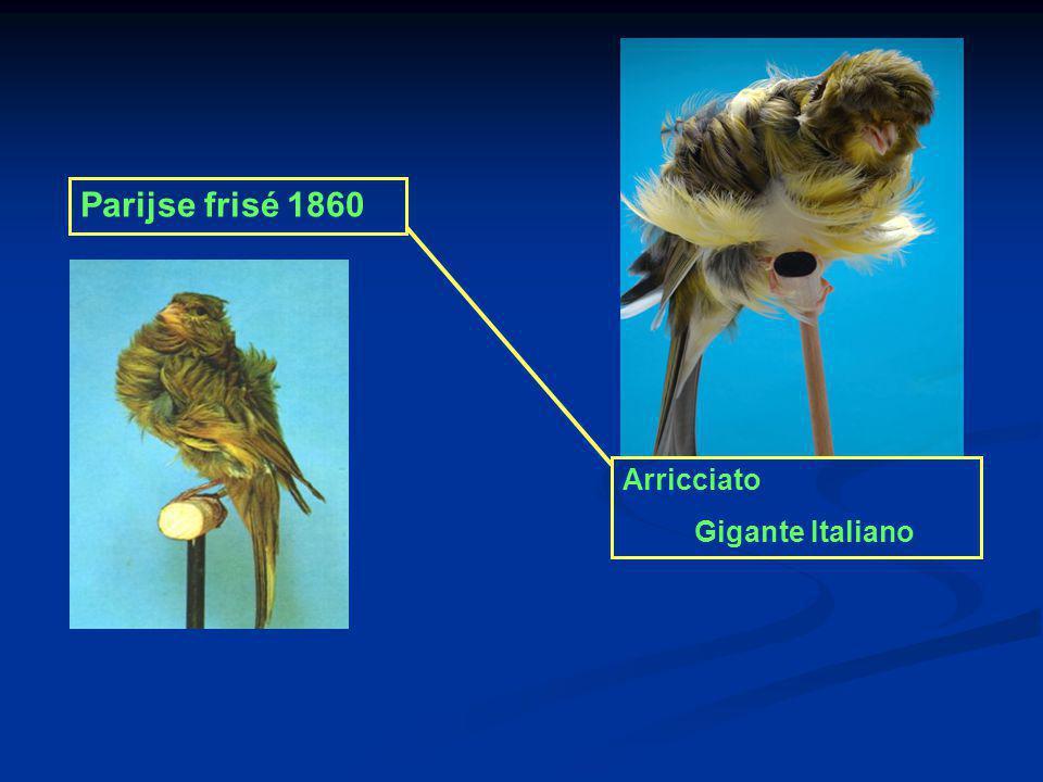 Parijse frisé 1860 Arricciato Gigante Italiano