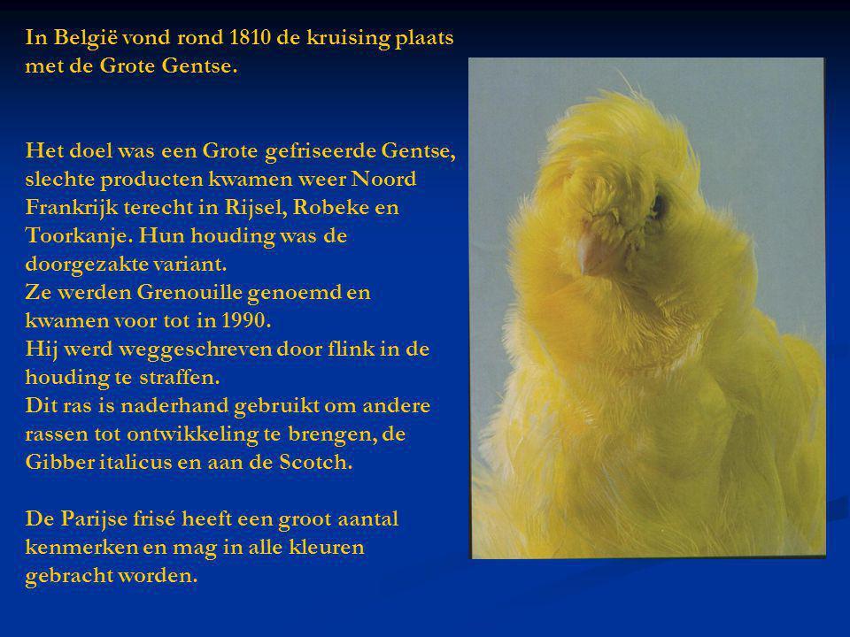 In België vond rond 1810 de kruising plaats met de Grote Gentse.