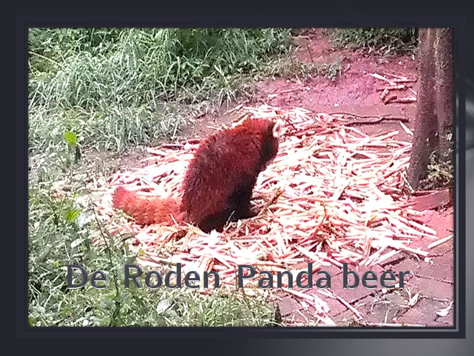 De Roden Panda beer