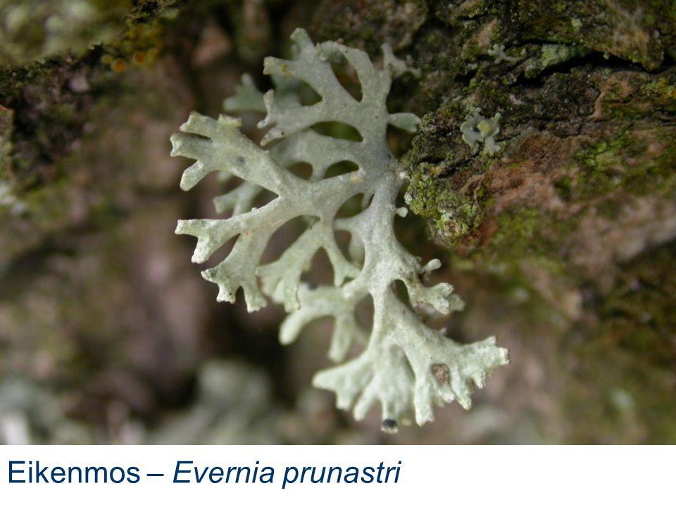 Eikenmos – Evernia prunastri