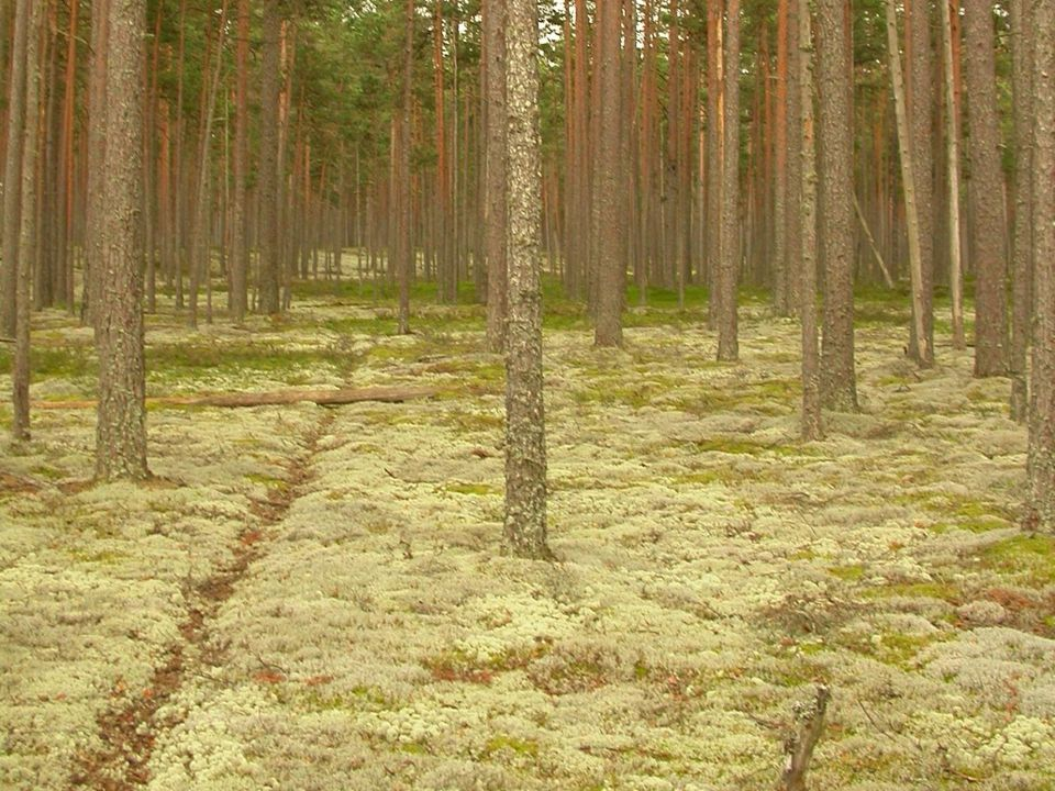 Boreaal bos met ondergroei van rendiermossen
