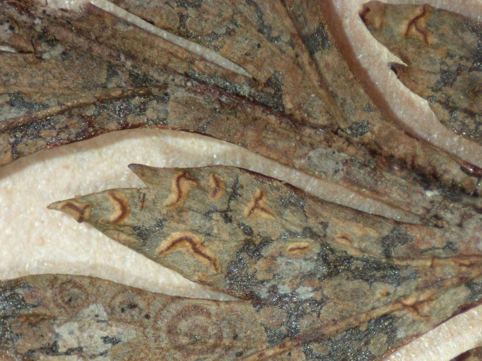 Varenblad met korstmos (Enterographa bella)