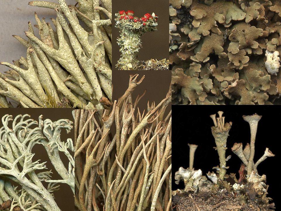 Groeivormen van korstmossen in stuifzanden