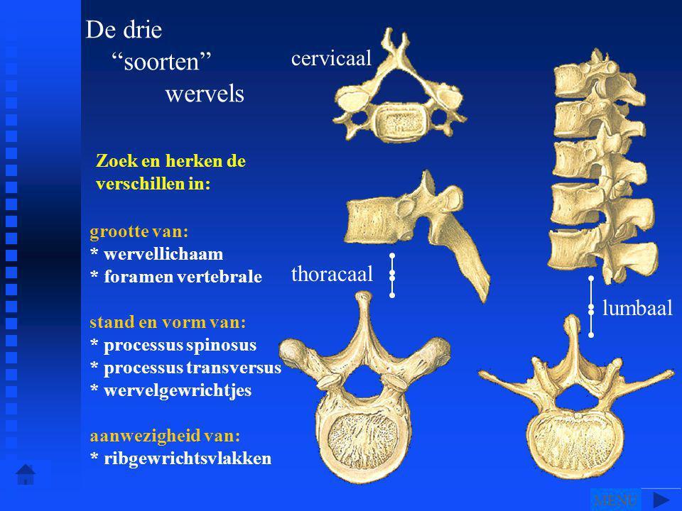 De drie soorten wervels cervicaal thoracaal lumbaal